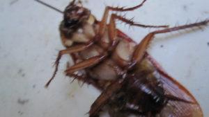 ほうき・ちりとりセットで片付けるゴキブリ