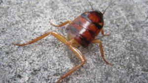 下腹部を失い下半身が露出したワモンゴキブリの幼虫