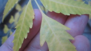 冬の訪れで日に日に寒くなると葉が黄色になる
