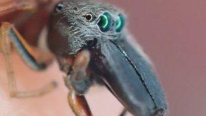 アリに似せて擬態したアリグモ(蟻蜘蛛※ハエトリグモ科)は益虫?アリとクモを足して2で割った動きの動画撮影に成功。