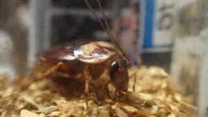 ゴキブリがタバコの葉を食べたら死ぬ?それとも煙草を食べない?忌避剤として利用できるか試してみた結果・・・