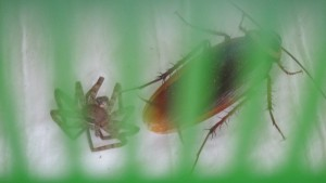 ゴキブリ対アシダカグモ勃発!?天敵登場に衝撃の結末