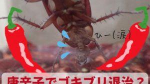唐辛子でゴキブリ退治?