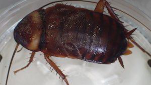 [画像]ゴキブリの糞・ウンチを部屋で発見したら注意!喘息などアレルギーの原因や乳幼児の誤食で食中毒などの原因に?掃除の際はマスク着用で!