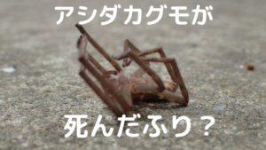 アシダカグモの擬死・死んだふり